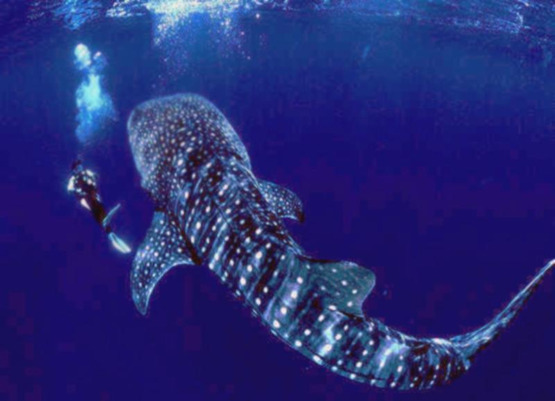 Whale-Shark01